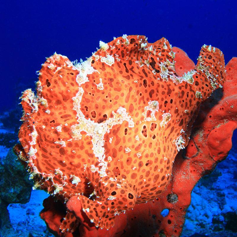 Tec Diving Dahab - Frogfish