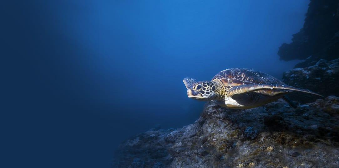 Turtle diving in Dahab